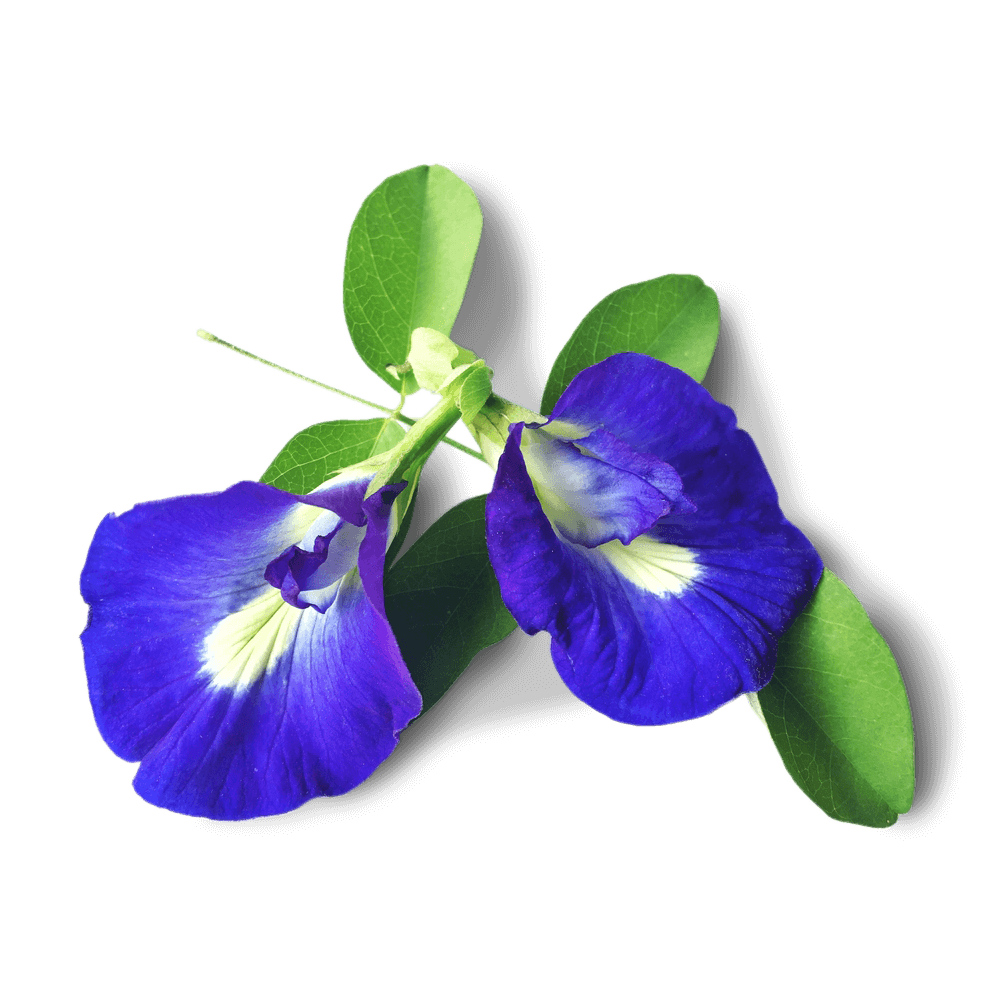 Blue Tea Flower